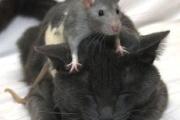 Video: Con chuột to gan nhất thế giới