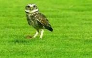 Video: Chim cú vào sân bóng săn mồi