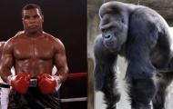 Mike Tyson từng đề nghị 10 ngàn USD để được đấu với khỉ đột
