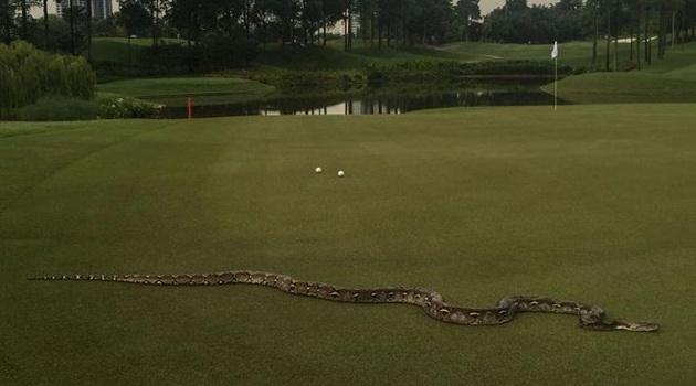 Giải golf gián đoạn vì trăn đi dạo mát
